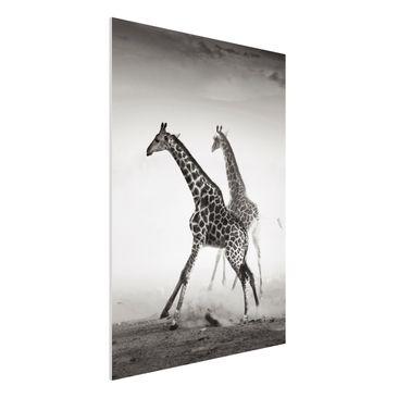 Produktfoto Forex Fine Art Print - Wandbild Giraffenjagd - Hoch 4:3