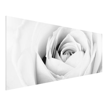 Produktfoto Forex Fine Art Print - Wandbild Close Up Rose - Panorama Quer