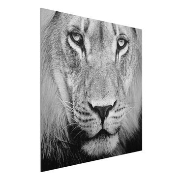 Produktfoto Aluminium Print gebürstet - Wandbild Alter Löwe - Quadrat 1:1
