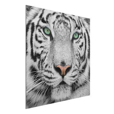 Produktfoto Aluminium Print gebürstet - Wandbild Weißer Tiger - Quadrat 1:1