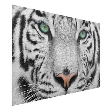 Produktfoto Aluminium Print gebürstet - Wandbild Weißer Tiger - Quer 2:3