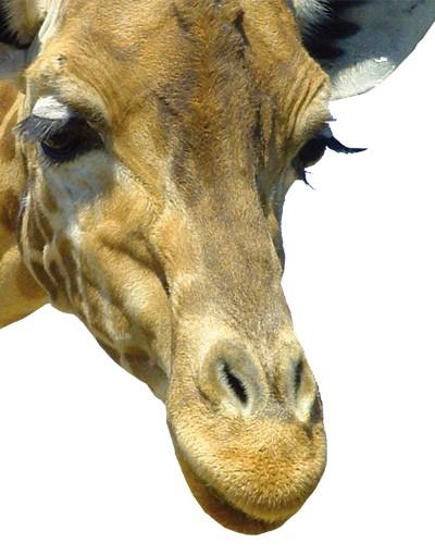 Immagine del prodotto Adesivi da finestra no.21 Prying Giraffe