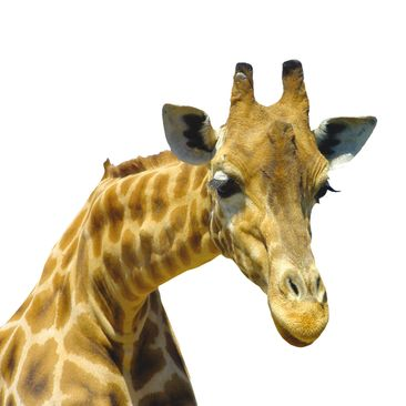 Product picture Wall Decal no.21 Prying Giraffe