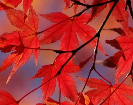 Produktfoto Selbstklebendes Wandbild Red Maple