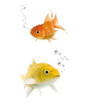 Product picture Window Mural Colourful Fishes Duo
