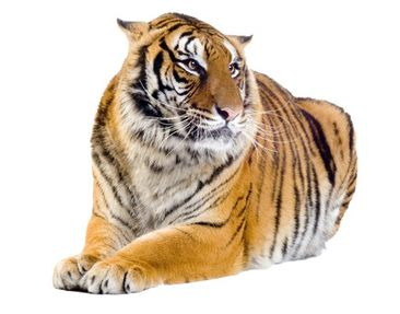 Product picture Wall Decal no.95 Tiger Tigris