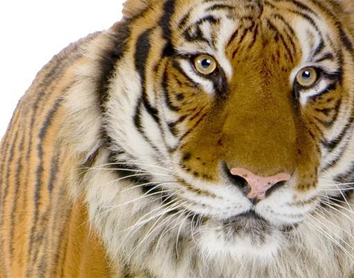 Produktfoto Wandtattoo Tiger No.127 Bengalischer Tiger