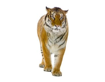 Product picture Wall Decal no.127 Banyan Tiger