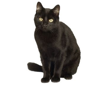 Product picture Wall Decal no.133 Black Cat