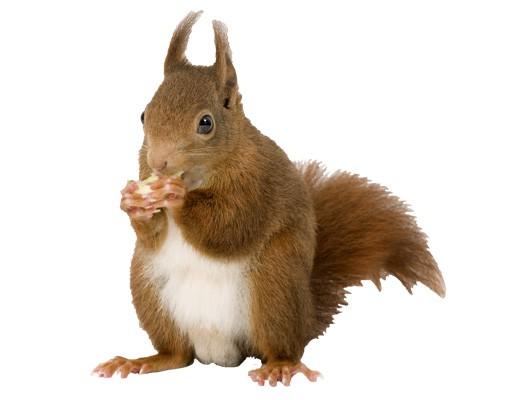 Produktfoto Wandtattoo No.137 Eichhörnchen