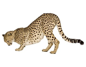 Product picture Wall Decal no.145 Cheetah II