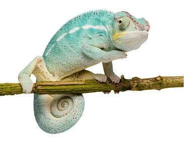 Product picture Wall Decal no.151 Blue Chameleon