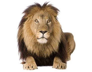 Product picture Wall Decal no.153 Lion I