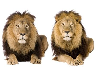 Product picture Wall Decal no.165 Two Lions