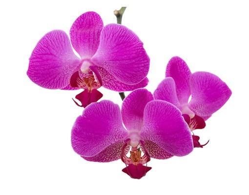 Produktfoto Wandtattoo Orchidee No.175 Orchidee Pink