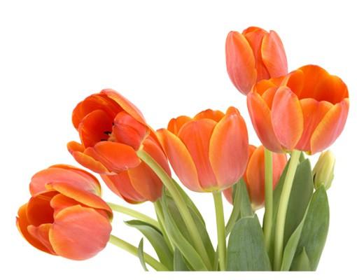 Produktfoto Wandtattoo Tulpe No.191 Tulpen
