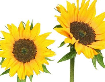 Product picture Wall Decal no.193 Sunflowers