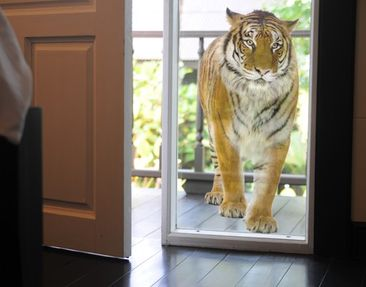 Product picture Window Sticker no.127 banyan tiger