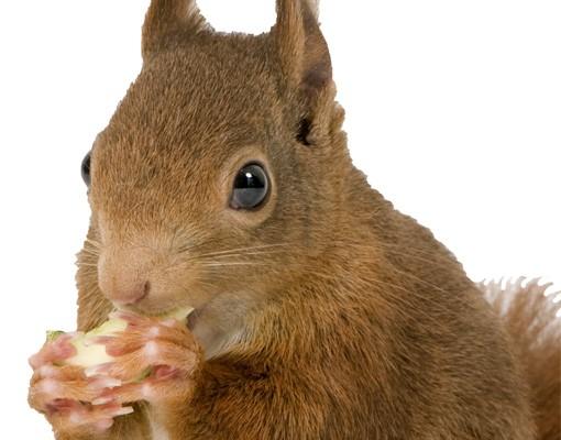 Produktfoto Fensterfolie - Fenstersticker No.137 Eichhörnchen - Fensterbilder