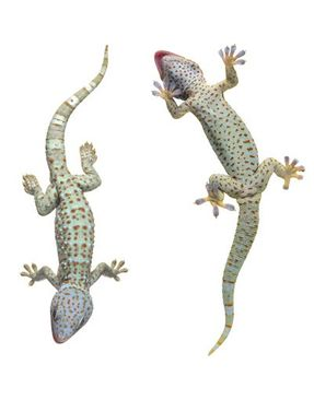 Product picture Window Sticker no.250 Nosey Geckos