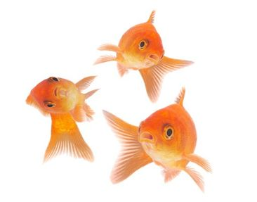 Product picture Wall Decal no.255 Fish Set 3-parts