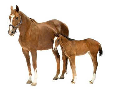 Product picture Wall Decal no.306 Mare & Foal