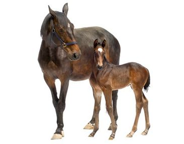 Product picture Wall Decal no.265 Trakehnermare & Foal