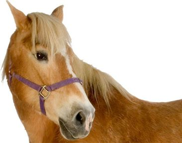 Product picture Wall Decal no.308 Haflinger