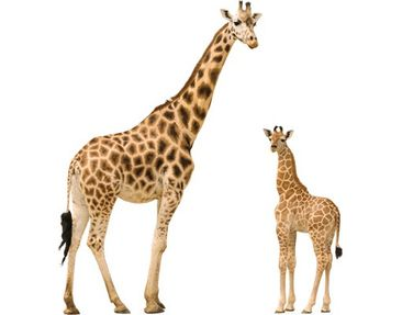 Product picture Wall Decal no.356 Giraffemother and Baby