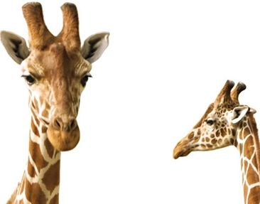Product picture Wall Decal no.315 Two Giraffes