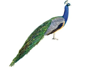 Product picture Wall Decal no.320 Peacock