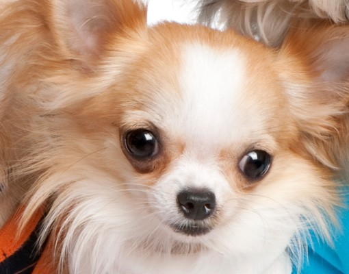 Produktfoto Wandtattoo Hund No.277 Chihuahuas and a Shi