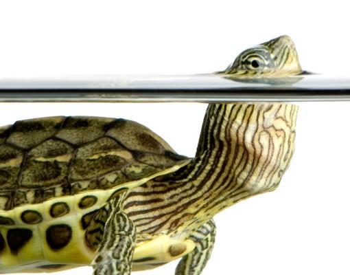 Produktfoto Fensterfolie - Fenstersticker No.381 Schildkröte Kopfhoch - Fensterbilder