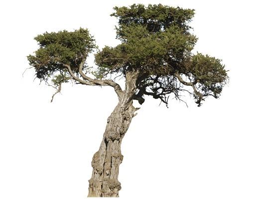 Produktfoto Wandtattoo Baum No.394 Olivenbaum