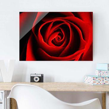 Produktfoto Glasbild - Liebliche Rose - Quer 2:3 - Blumenbild Glas