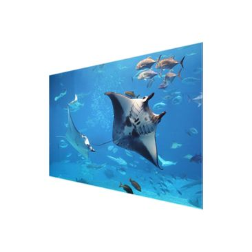 Product picture Glass Print - Manta Ray - Glass Wall Art...