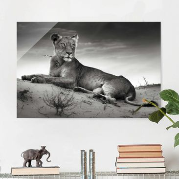 Product picture Glass Print - Resting Lion - Glass Wall...