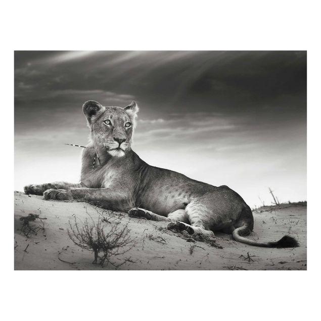 Produktfoto Glasbild - Resting Lion - Quer 3:4