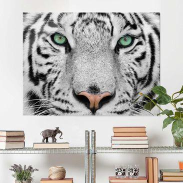 Produktfoto Glasbild - Weißer Tiger - Quer 3:4