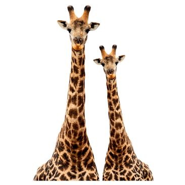 Product picture Wall Decal Portrait of two giraffes