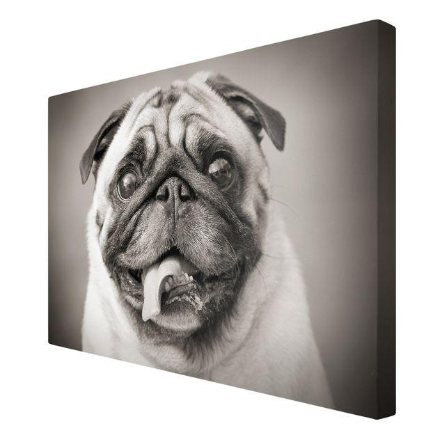 Produktfoto Leinwandbild Schwarz-Weiß - Lustiger Mops - Quer 2:3, Spiegelkantendruck rechts, Artikelnummer 205352-FR