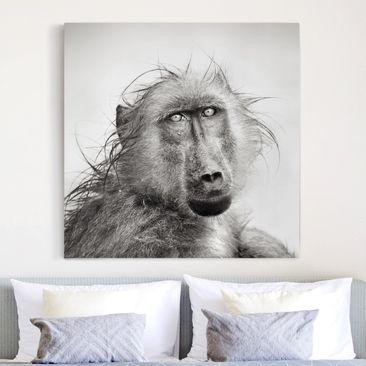 Produktfoto Leinwandbild Schwarz-Weiß - Crying Baboon - Quadrat 1:1, vergrößerte Ansicht in Wohnambiente, Artikelnummer 206330-XWA