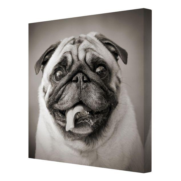 Produktfoto Leinwandbild Schwarz-Weiß - Lustiger Mops - Quadrat 1:1, Spiegelkantendruck rechts, Artikelnummer 206566-FR