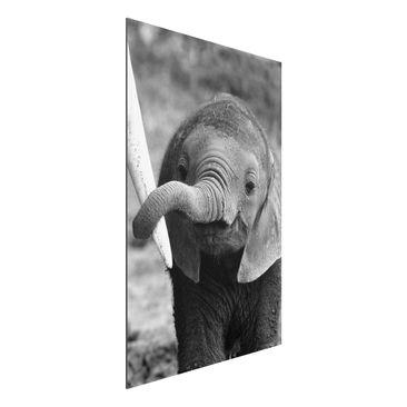 Produktfoto Alu Dibond Bild - Elefantenbaby - Hoch 3:2