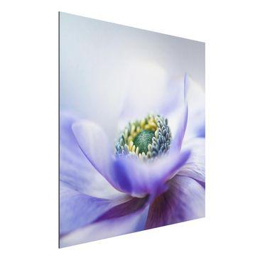 Produktfoto Aluminium Print - Anemone De Caen - Quadrat 1:1