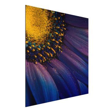 Produktfoto Aluminium Print - Blaue Gerberablüte - Quadrat 1:1