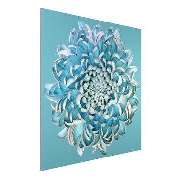 Produktfoto Aluminium Print - Blaue Chrysantheme - Quadrat 1:1