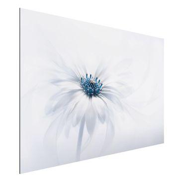 Produktfoto Aluminium Print - Gänseblümchen in Blau - Querformat 2:3