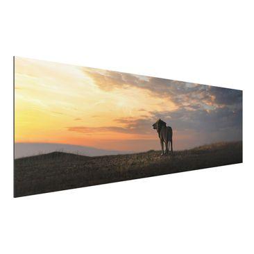 Produktfoto Aluminium Print - Löwe im Sonnenuntergang - Panorama Querformat