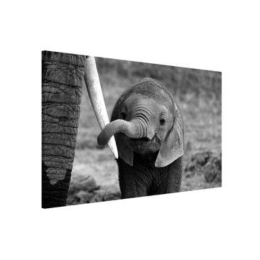 Produktfoto Magnettafel - Elefantenbaby - Memoboard Querformat 2:3